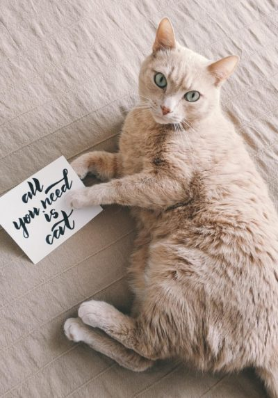 Mid coated brown cat laying down with a sign that reads All You Need is Cat