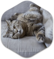 Greyish brown cat laying playfully on couch